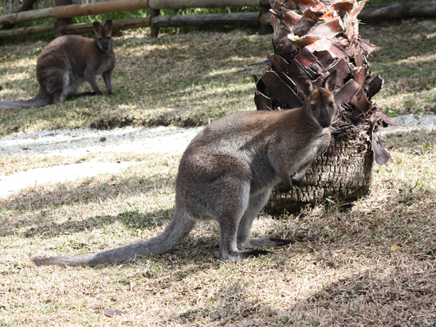 wallaby de benet